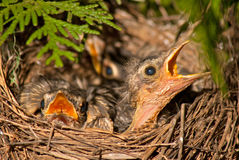 Hungry baby bird Royalty Free Stock Photos