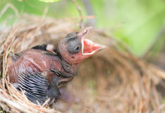 Hungry baby bird in a nest wanting the mother bird to come and f Stock Images
