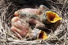 Hungry Baby Birds. Two baby Starling birds with their mouths open to be fed in Ruby, Mi Stock Photo