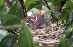 Hungry baby birds chirping for food in a nest, Georgia USA Stock Images