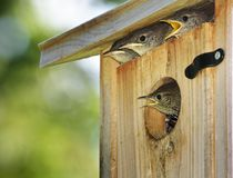 Hungry Baby Birds. Four baby House Wrens poke heads out of birdhouse when they sight parent with food Stock Photography