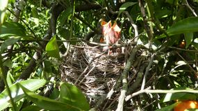 Hungry baby birds. Waiting for their mother who brings the food Royalty Free Stock Images