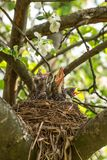 Hungry baby birds in a nest close up. Hungry baby birds in a nest on a tree branch in spring garden in sunlight close up royalty free stock images
