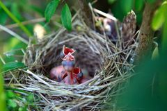 Hungry baby birds in a nest Stock Photos