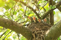 Hungry baby birds in a nest in spring in sunlight. Hungry baby birds in a nest in spring on tree branch in sunlight royalty free stock photo