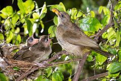 Hungry baby birds streak-eared bulbul. Or pycnonotus conradi in forest nature Stock Photo