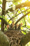 Hungry baby birds waiting for food in nest in spring. In sunlight royalty free stock image