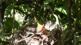 Hungry baby birds. Waiting for their mother who brings the food Stock Photography