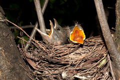 Hungry baby blackbirds / Turdus merula Stock Photo