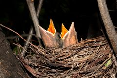 Hungry baby blackbirds / Turdus merula Royalty Free Stock Image