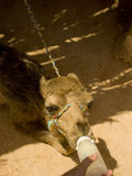 Hungry Baby Camel. A hungry baby camel being fed with a milk bottle Stock Photos