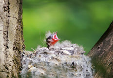 Hungry baby Finch out of the nest their open hungry beaks waitin Stock Photo