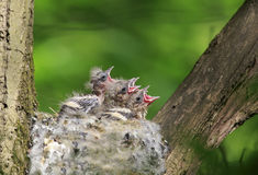 Hungry baby out of the nest their open hungry beaks Royalty Free Stock Image