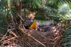 Hungry baby robin birds in nest Stock Photo