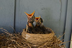 Hungry Baby Robins in the Nest. These three little robins hatched in a nest on top of an outdoor coat rack on a front porch.  They anxiously await for their Stock Photography