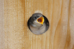 Hungry Baby Tree Swallow Stock Photography