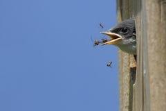 Hungry Baby Tree Swallow Stock Photo
