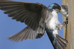 Hungry Baby Tree Swallow Royalty Free Stock Photos
