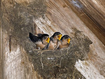 Hungry Barn Swallow Chicks. A fun picture of wide open mouths hoping to be fed as their mother flies by Royalty Free Stock Photos