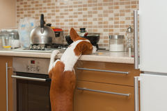 Hungry  basenji dog is trying to reach for a cookie Royalty Free Stock Images