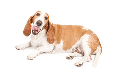 Hungry Basset Hound Tongue Out Stock Photo