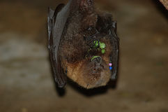 Hungry Bat Royalty Free Stock Photography