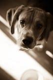 Hungry Beagle stock image