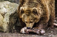 Hungry Bear Royalty Free Stock Photo