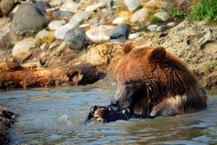 Hungry Bear Stock Photography