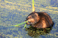 Hungry Beaver Stock Images