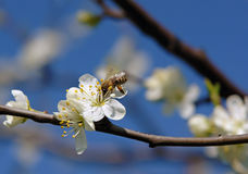Hungry bee on bloom of apple tree Stock Photography