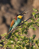 The hungry bee-eater Stock Images