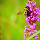 Hungry bee royalty free stock images