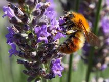 Hungry bee Lavendar Royalty Free Stock Image