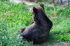 An hungry big brown bear in the zoo Stock Photography