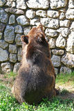 An hungry big brown bear in the zoo Stock Image