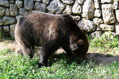 An hungry big brown bear in the zoo Royalty Free Stock Images