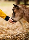 Hungry Billy Goat. Billy goat eating out of a child's hand stock images