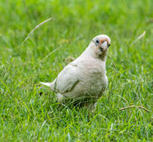 Hungry Bird Royalty Free Stock Photography