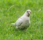 Hungry Bird. A bird having a snak Royalty Free Stock Photography
