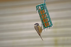 Hungry bird on icicle covered feeder Stock Image