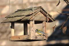 A hungry bird Parus major sits on wooden shingles feeder in a sunny day royalty free stock photo