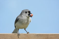 Hungry Bird With A Peanut Stock Image