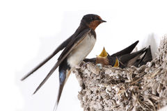 Hungry birds. Swallow nest with hungry nestlings royalty free stock image