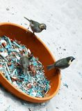 Hungry birds are fed. At bowl. Teal and orange photo filter royalty free stock photo