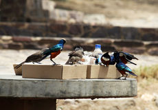 Hungry birds Stock Images