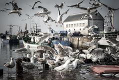 Hungry birds seagull. Multitude hungry birds seagull in a harbor Stock Photo