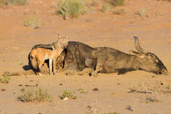 Hungry Black backed jackal eating on a hollow carcass in the des Stock Photo