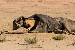 Hungry Black backed jackal eating on a hollow carcass in the des Stock Image