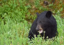 A hungry black bear cub eating dandelions royalty free stock photos